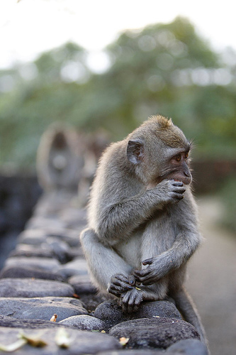 Alila-Ubud-monkeys