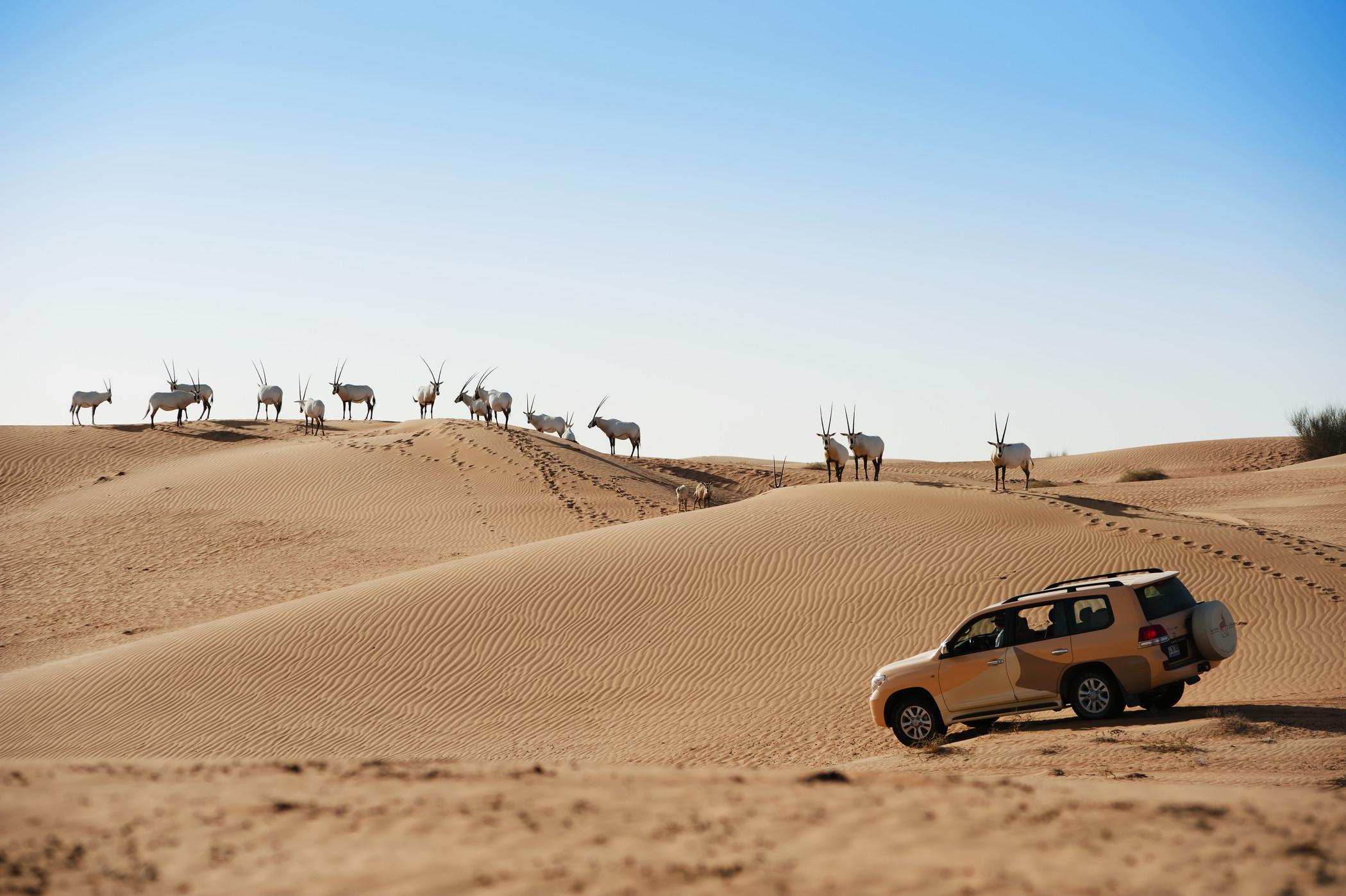 Al Maha-Wildlife drive
