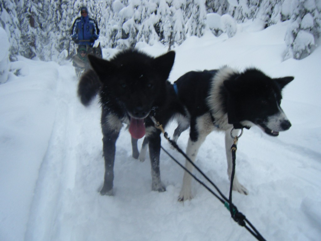 Dog sledding at Sun Peaks