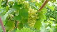 PROSECCO-grapes