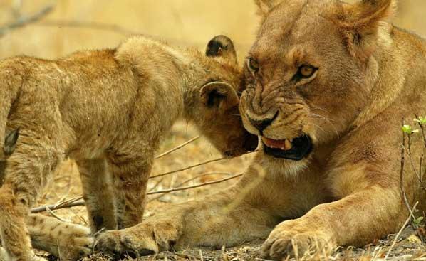 tanzania-safari-lion