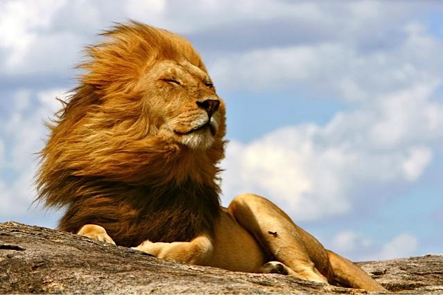 強い風を受けるライオン