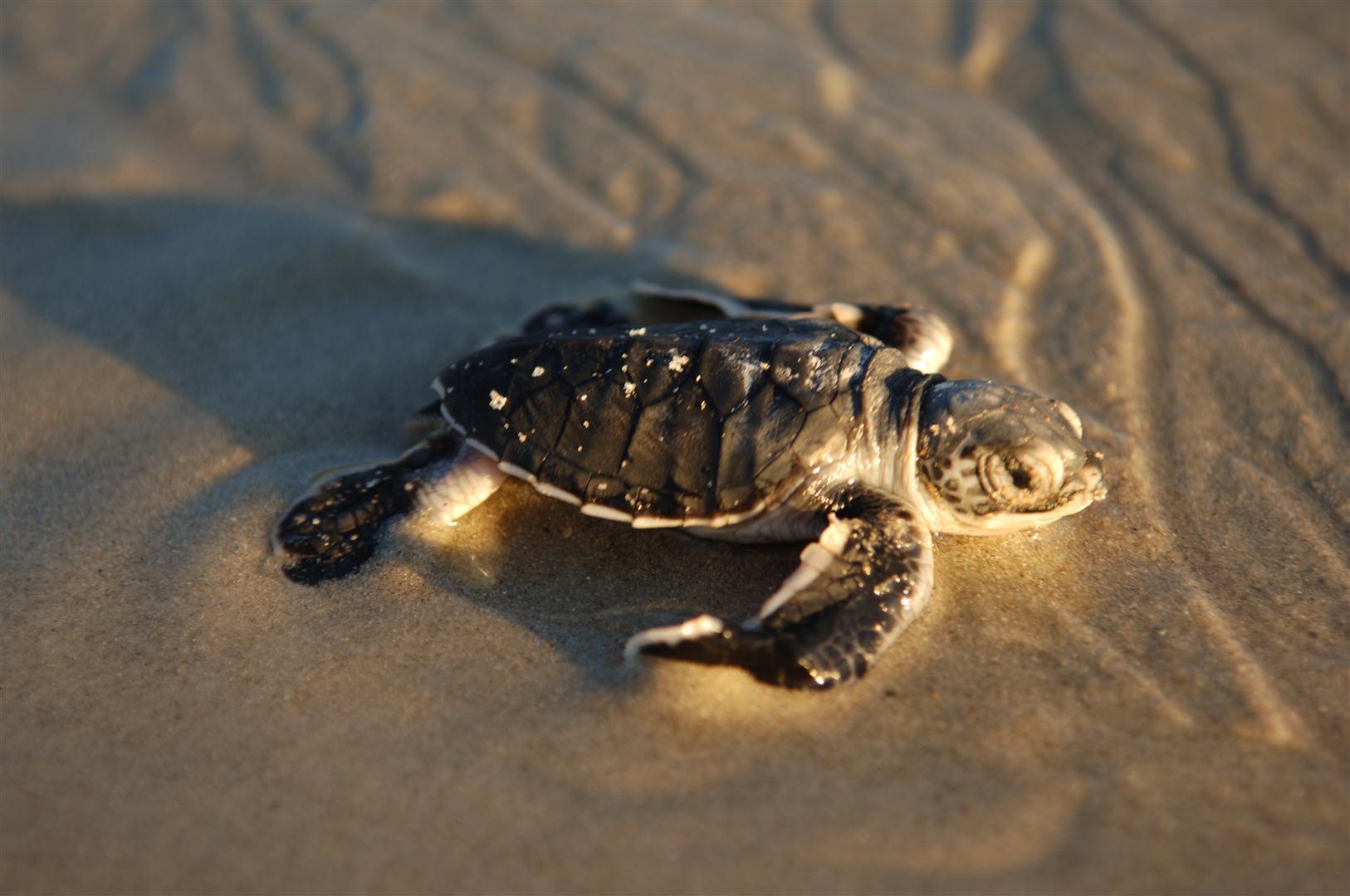 baby-turtle-vamizi-island