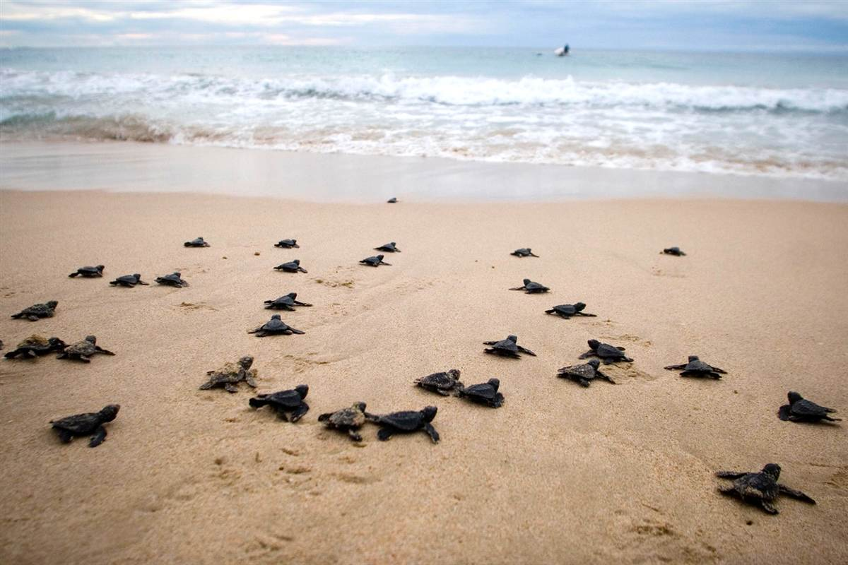 Turtles release_The Lux Traveller_Thailand